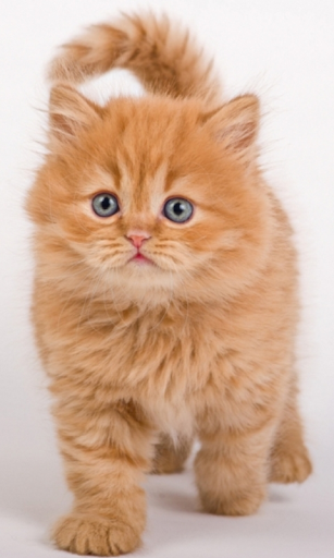Cute Orange Kitty WP