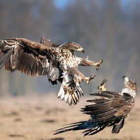 Juvenile White-tailed Eagles by Simon Armstrong - Animals Birds ( haliaeetus albicilla, birds of prey, white tailed eagle,  )