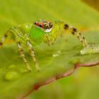 Epeus Indicus(Female)