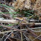 Eupholidoptera Katydid cricket (Ευφολιδόπτερη μεγάστυλη)