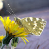 Mariposa Blanquiverdosa. Bath White Butterfly.
