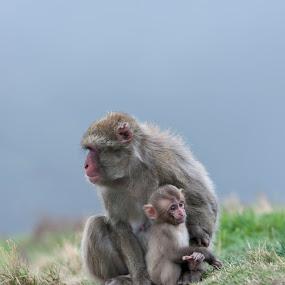 by Jacek Steplewski - Animals Other Mammals ( animals, snow monkey, zoo, baby animals, monkey, japanese macaque )