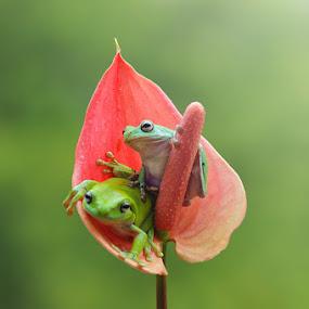 Looking Around by Andri Priyadi - Animals Amphibians ( indonesiam, frog, nikon, animal,  )