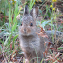 Mountain Cottontail or Nuttall's Cottontail