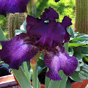 "Bearded Iris""Baltic"""
