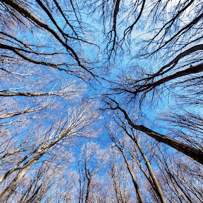 Reaching for the sky by Diana Toma - Landscapes Forests ( sky, wood, blue, trees )