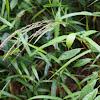 Creeping panic grass