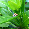 Six-spotted Ladybird
