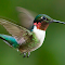 Ruby Throated-2572.JPG
