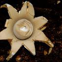 Earthstar fungi