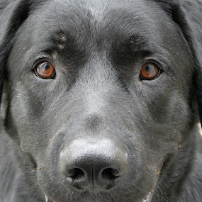 Those Eyes by Lori Louderback - Animals - Dogs Portraits (  )