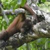 Borneon Orangutan