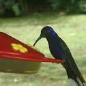Violet Sabre Wing Hummingbird