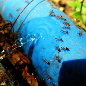 Thirsty Ants by Shashikant More - Animals Other