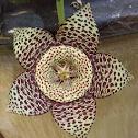 Carrion cactus