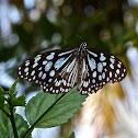 Blue Tiger: male