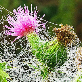 Caught in the spider network early in the morning by Vladimir Krizan - Nature Up Close Other plants