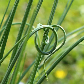 Curly Q by Missy Grove Horne - Nature Up Close Leaves & Grasses (  )