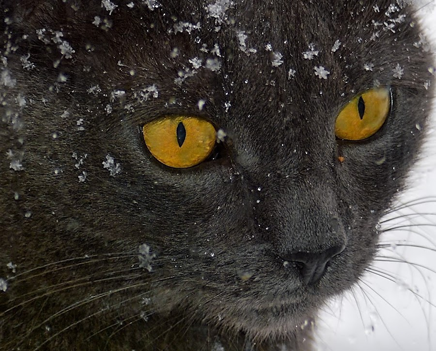 by Dave Meng - Animals - Cats Portraits (  )