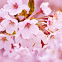 Cherry Blossom Theme HD logo