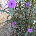 Mexican Petunia