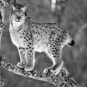Lynx by Marius Birkeland - Black & White Animals ( blackandwhite, black and white, lynx, bnw, animal,  )