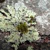 Liquen / Maritime Sunburst Lichen