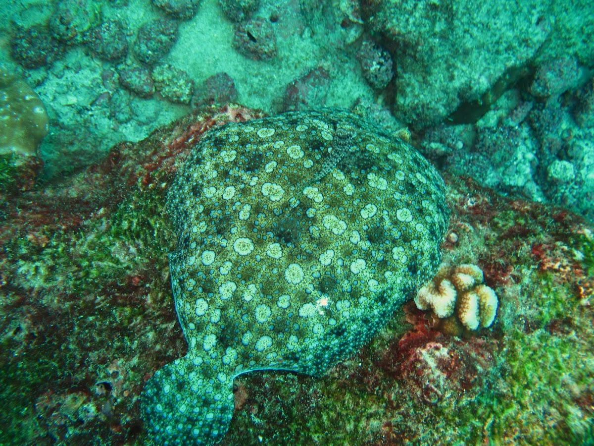 Tropical flounder
