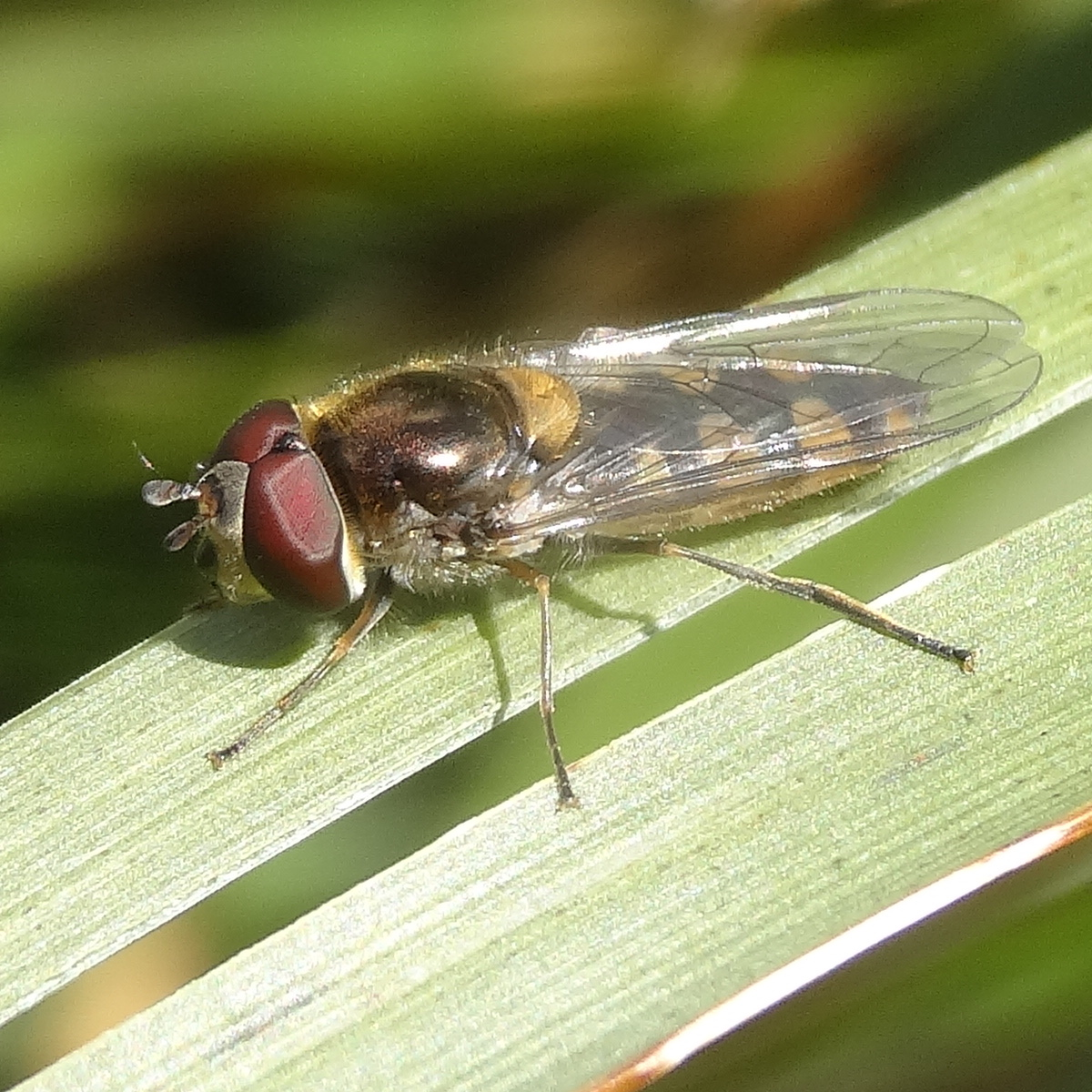 Common hoverfly