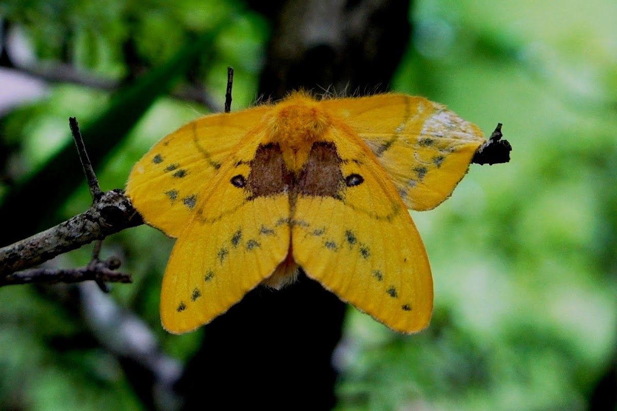 Rose Myrtle Lappet Moth