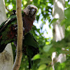 Northern Hawk-headed Parrot