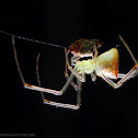 Mirror/cobweb spider