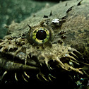 freshwater toadfish
