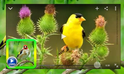 Goldfinch Video Kicau