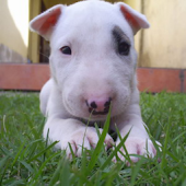 Dog Puzzle: Bull Terrier