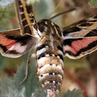 Striped Hawk Moth