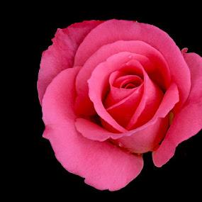 Flower by Ibe Lase - Flowers Single Flower