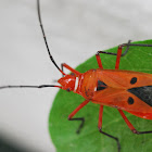 Red Cotton Stainer