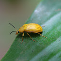 Comb-clawed beetle