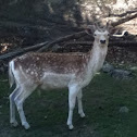 Chevreuil ( Fallow Deer )