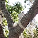 White Eastern Grey Squirrel