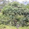 uncertain tree