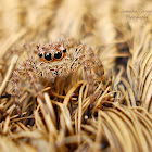 Panatropical Jumping Spider(Female)