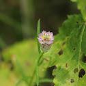 Cross Leaf Milkwort