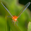 Derbidae Planthopper