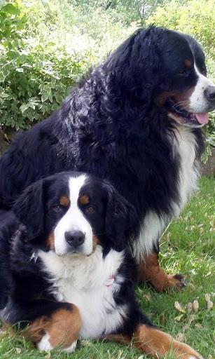 Bernese Mountain Dogs Wallpap
