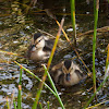 Mallard (ducklings, female)
