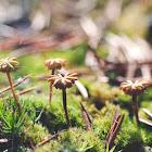 Umbrella liverwort (female)