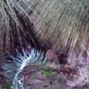 Quenda (southern brown bandicoot)