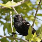 Red-winged Blackbird (Immature Male)